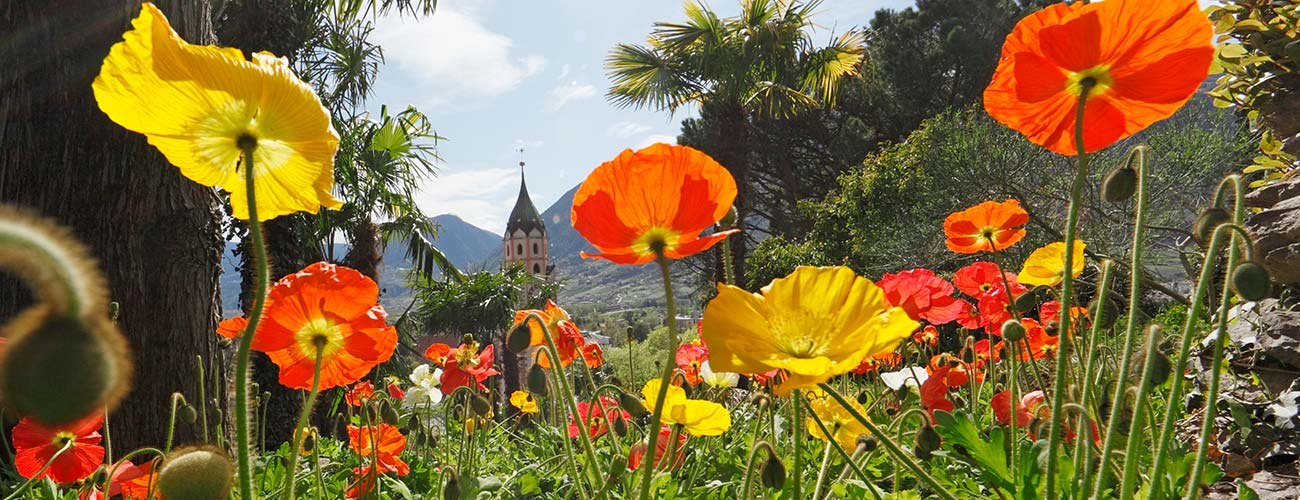 Yellow and red poppies and in the background the city of Merano