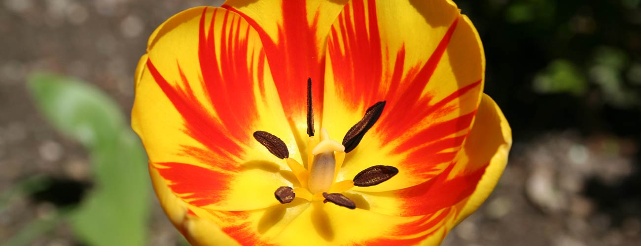 Close-up of yellow and red tulip